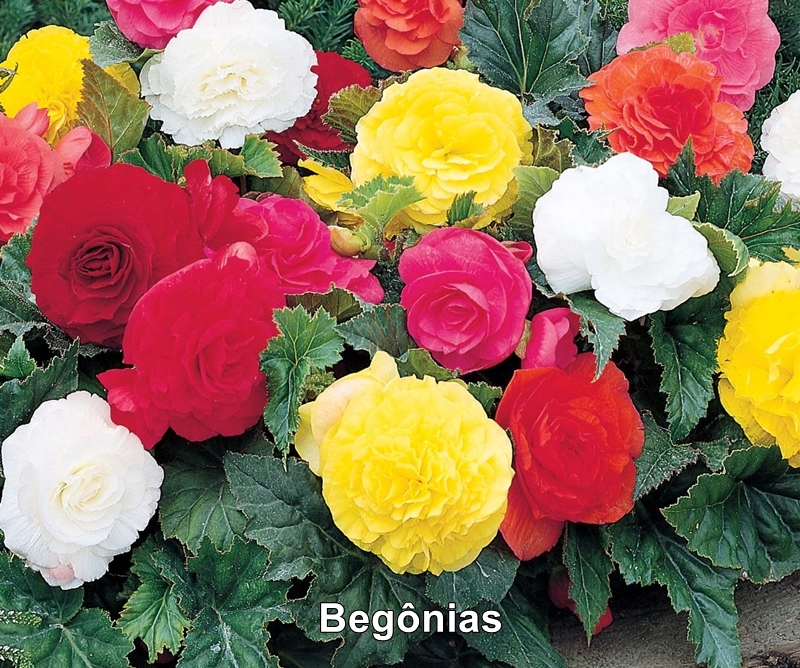 begonias plantas e flores